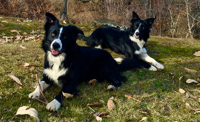 Border collie carattere